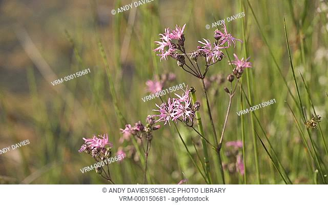 Ragged robin (Lychnis flos-cuculi) growing in a meadow. Filmed in Wales, UK