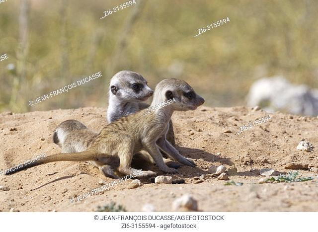 Meerkats (Suricata suricatta), three young males at burrow, Kgalagadi Transfrontier Park, Northern Cape, South Africa, Africa