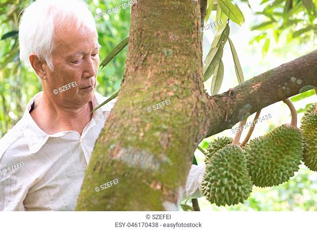 Asian farm worker checking on durian tree in orchard