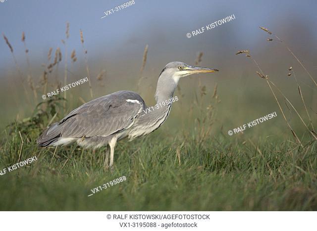 Grey Heron (Ardea cinerea) walking through a meadow, full, thick throat, crop, gullet, just eaten a rodent, successful hunter, wildlife, Europe