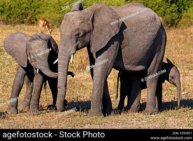 Afrikanische Elefanten, mit Jungtieren, im Chobe Nationalpark, Botswana