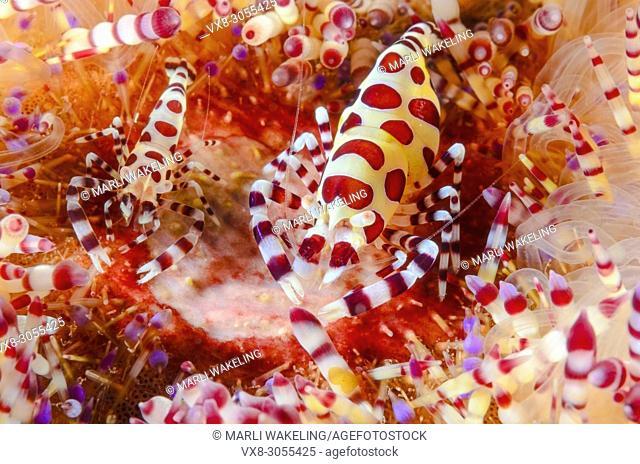 Coleman's fire urchin shrimp, Periclimenes colemani, Anilao, Batangas, Philippines, Pacific