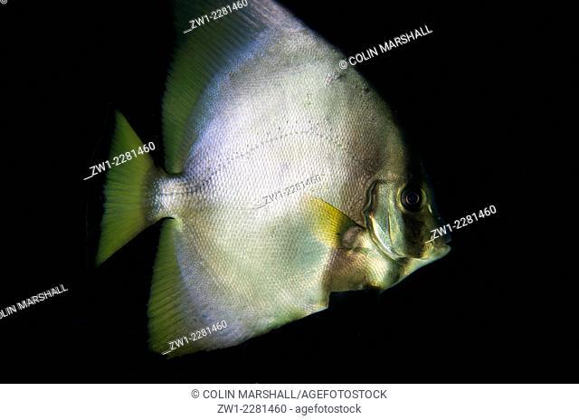 Pinnate Spadefish (Platax pinnatus), Tatawa Kecil dive site, between Komodo and Flores islands, Komodo National Park, Indonesia