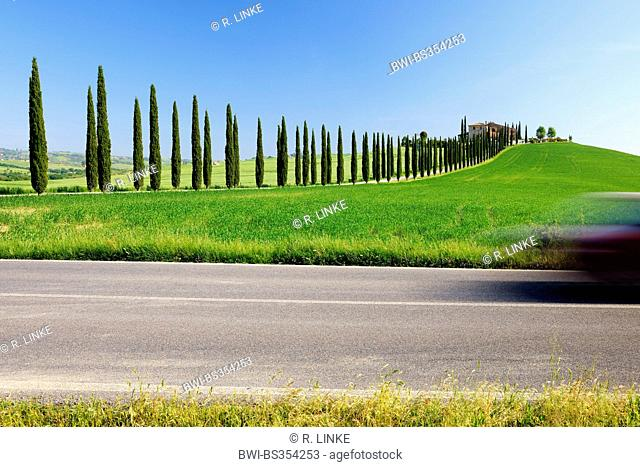 Italian cypress (Cupressus sempervirens), cypress avenue in spring, Italy, Tuscany, Val d Orcia, San Quirico d Orcia