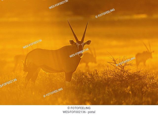 Africa, Botswana, Mabuasehube, Group of gemsbuck in kgalagadi transfrontier park at sunset