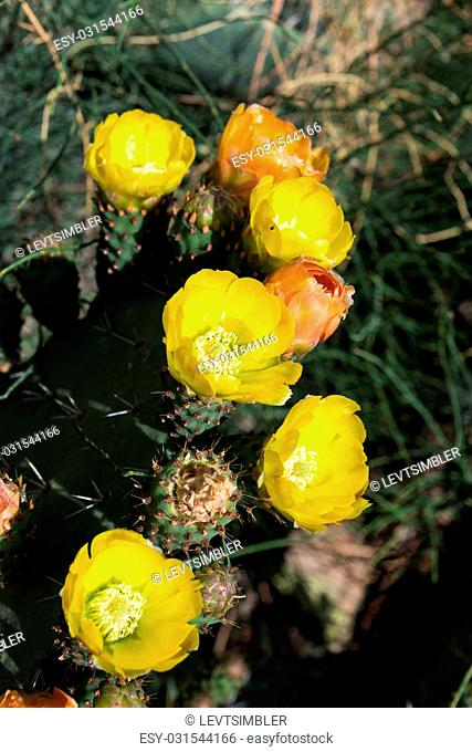 Opuntia ficus-indica flower, Israel