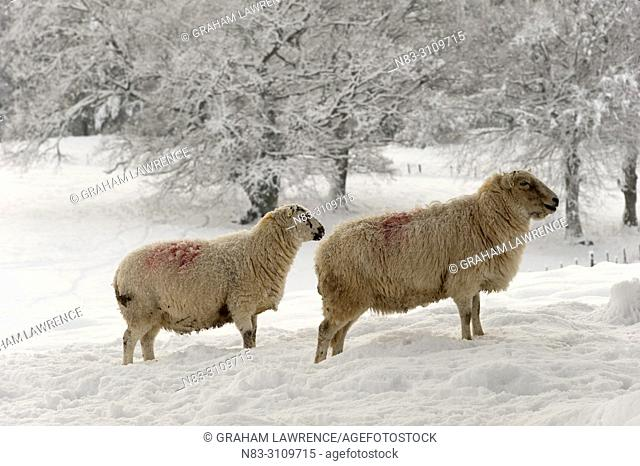 Sheep stand in a snowy field near Builth Wells, in Powys, Wales, UK