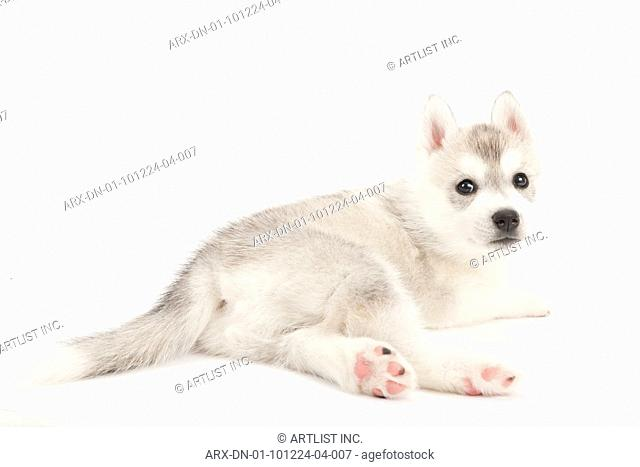 A laying puppy