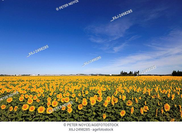 Field of sunflowers in full bloom with blue sky