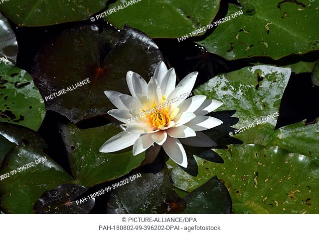 01 July 2018, Germany, Hamm: A water lily floats next to a lily leaf on a pond in the Maximilianpak. · NO WIRE SERVICE · Photo: Horst Ossinger/dpa