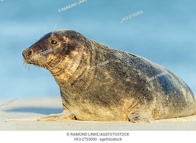 Grey Seal, Halichoerus grypus, Female, Europe