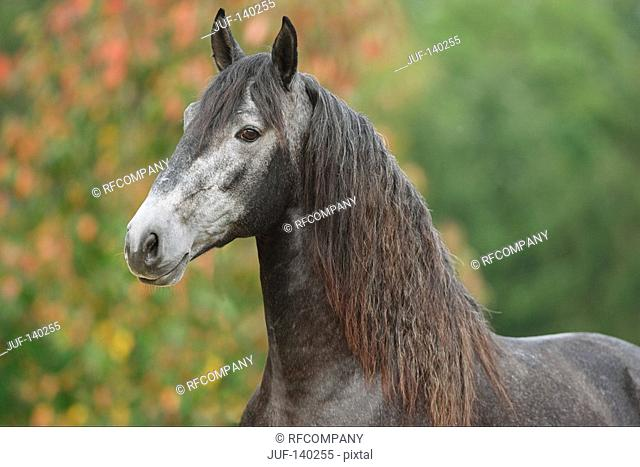 lusitano horse - portrait