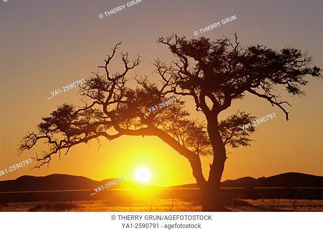 Namibia, Namib-Naukluft National park, Sesriem, Acacia tree on sunset