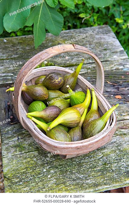 Common Fig (Ficus carica) fruit, picked homegrown crop in wooden trug, Norfolk, England, September