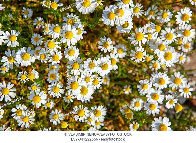 Chamomile is the common name for several daisy-like plants of the family Asteraceae
