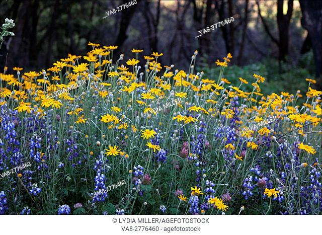 Close up of wildflowers, including blue lupin and yellow daisies, as they bloom along Poho Ridge near Pollock Pines, California, USA