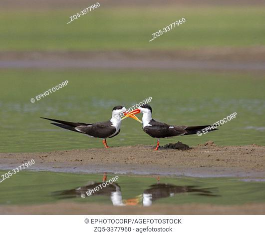 Skimmers courtship, Tern-like birds from Laridae family at Chambal river in Rajasthan, India