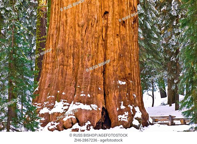 General Sherman Giant Sequoia (Sequoiadendron giganteum) in winter, Giant Forest, Sequoia National Park, California USA