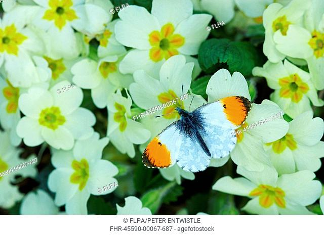 Orange-tip Butterfly Anthocharis cardamines adult, feeding on Primrose Primula vulgaris in garden, England