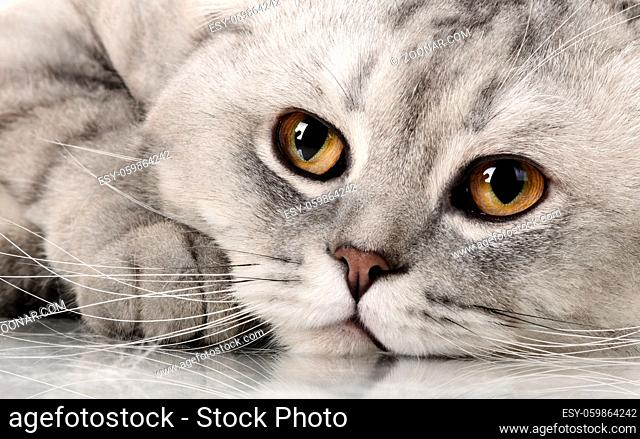 fluffy gray beautiful adult cat, breed scottish-fold, very close up portrait