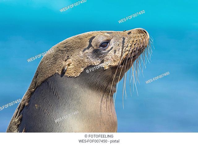 Ecuador, Galapagos Islands, Plaza Sur, portrait of sea lion
