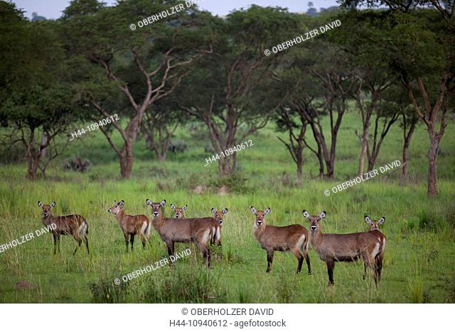 Africa, Uganda, East Africa, black continent, pearl of Africa, Great Rift, Murchison Falls, national park, nature, wilderness, water buck, animals, wild animal