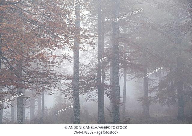 Beech tree (Fagus sylvatica). Pyrinees. Irati. Navarra. Spain