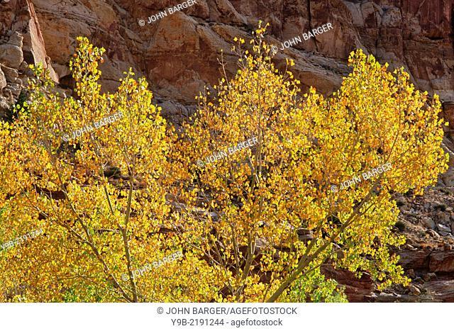 Fremont Cottonwood (Populus fremontii) displays fall color near Fremont River, Capitol Reef National Park, Utah, USA