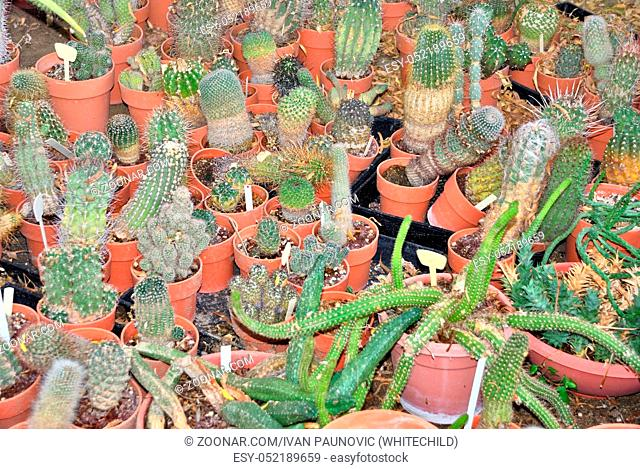Group of various small cacti in a nursery