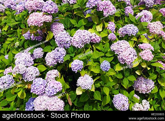 hydrangeas blue and purple. Ireland is full of beautiful landscapes where ever you look