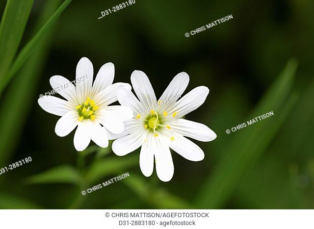 Greater Stitchwort, Stellaria holostea, Catbrook, Monmouthshire, May. Family Caryophyllaceae