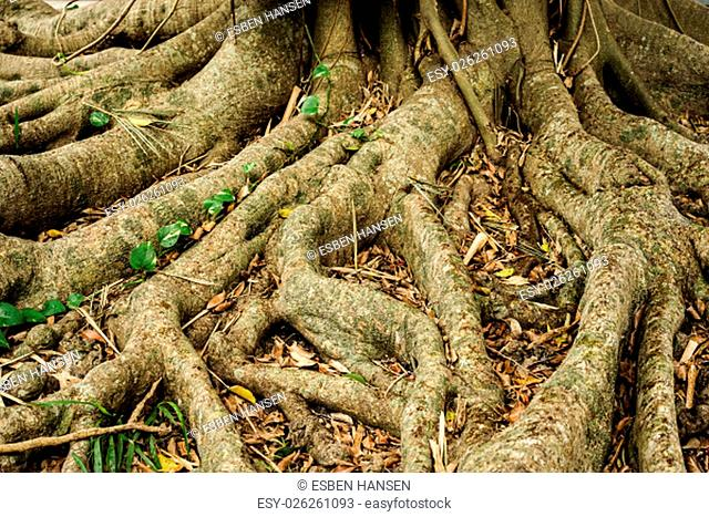 close-up of tree roots extending from the tree