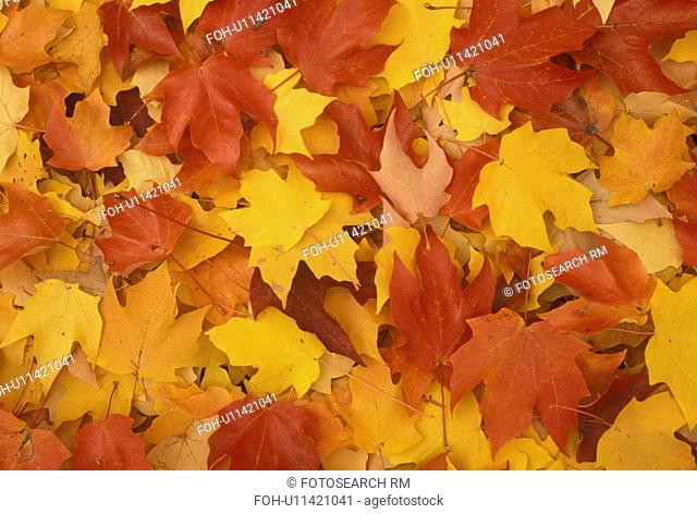 leaves, fall, A close-up of red yellow and orange maple leaves lying on the ground