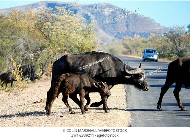 Buffalo (Syncerus caffer) juvenile crossing road, Kruger National Park, Transvaal, South Africa