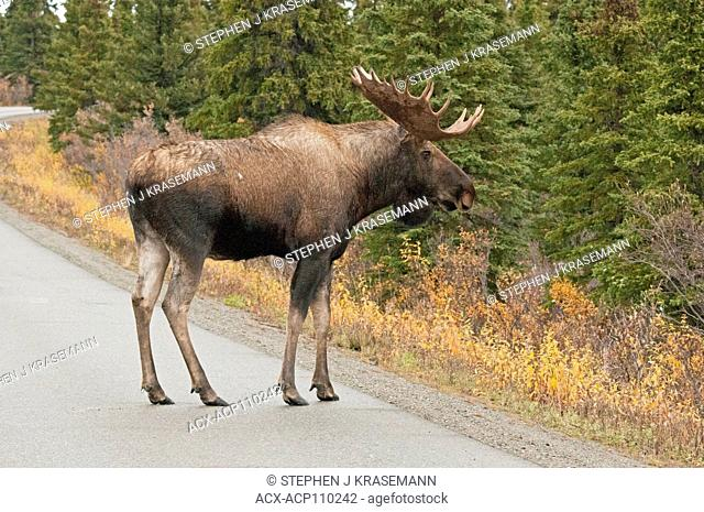 Bull Moose (Alces alces) coming on to road, Denali National Park, Alaska, USA