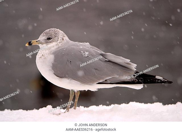 Ring Billed Gull (Larus delawarensis) on ice in winter, Central Park, NY