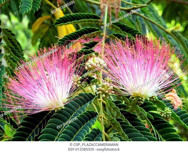 Persian Silk Tree Flowers