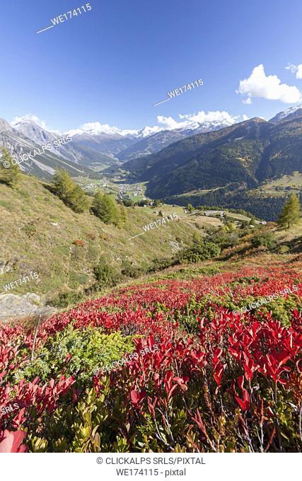Red plants during autumn, Val Vezzola, Valdidentro, Valtellina, Sondrio province, Lombardy, Italy