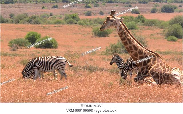 WS Plains Zebras and South African Giraffe / South Africa