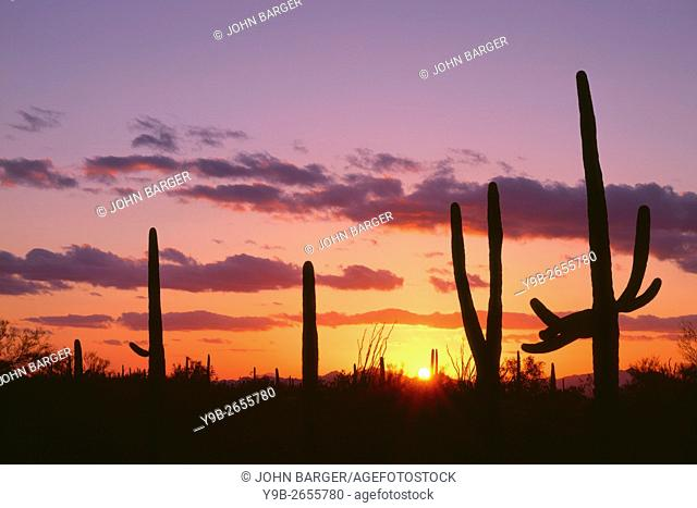 USA, Arizona, Saguaro National Park, Saguaro cacti are silhouetted at sunset in the Tucson Mountains