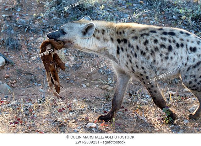 Spotted Hyena (Crocuta crocuta) aka Laughing Hyena with skin of antelope, Kruger National Park, Transvaal, South Africa