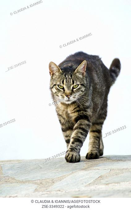 A tabby cat is walking towards the camera against a white house wall