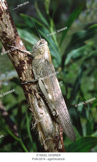 Egyotian grasshopper Anacridium aegyptium at rest in tree