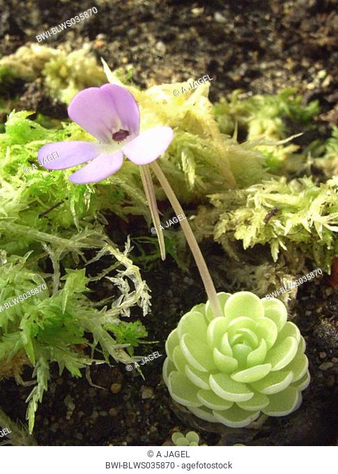 Essers butterwort Pinguicula esseriana, blooming