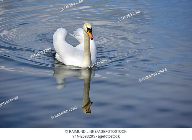 Mute Swan, Cygnus olor, Freudenberg, Churfranken, Main-Tauber-District, Baden Wurttemberg, Germany
