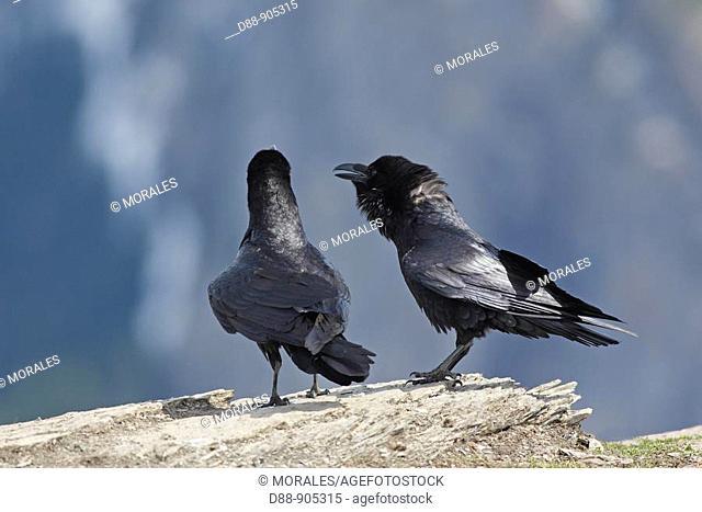 Common raven (Corvus corax) courtship