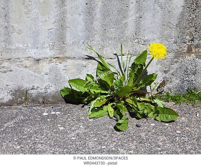 Blooming Dandelion Along a Sidewalk Edge