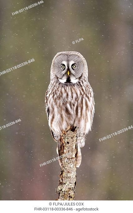 Great Grey Owl (Strix nebulosa) adult female, perched on stump during snowfall, Finnish Lapland, Finland, April