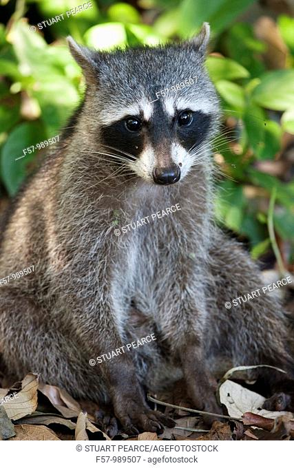 Crab-eating Raccoon in Cahuita National Park, Costa Rica