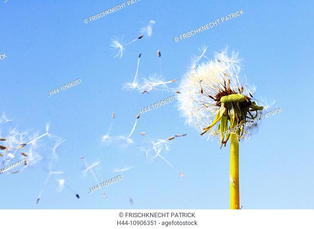 Flower, detail, flora, fly, reproduction, sky, ease, air, dandelion, macro, close-up, plant, puff, blowball, Blow, seed, seeds, Switzerland, Taraxacum officiale